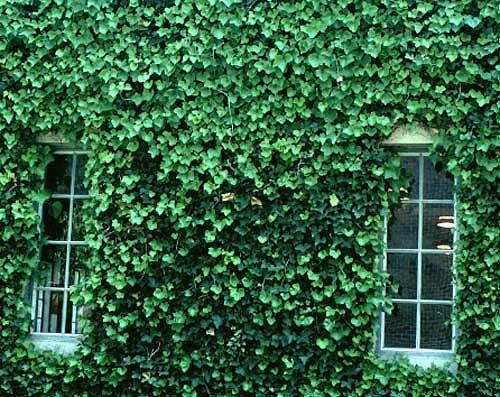 English_ivy2