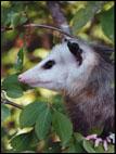 possum_1.jpg